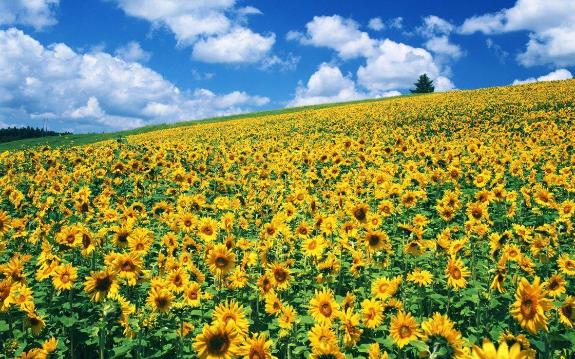 Nature Fields Sunflowers Wallpaper