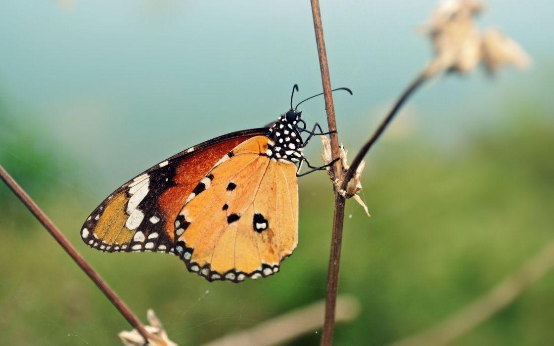 nature animals insects summer butterflies wallpaper