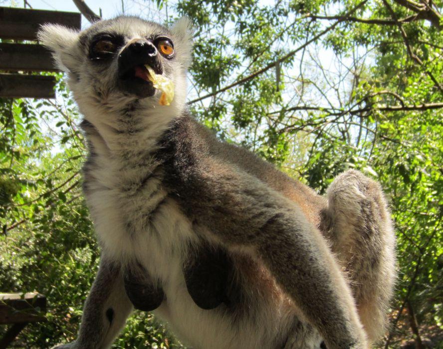 LEMUR primate Madagascar (8) wallpaper