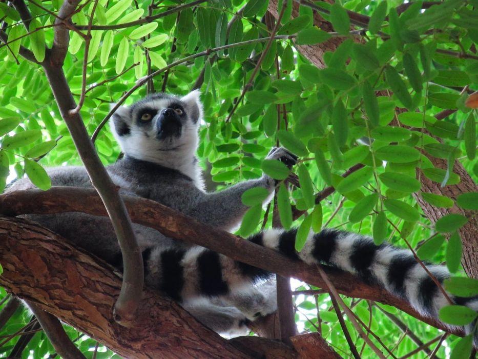 LEMUR primate Madagascar (7) wallpaper