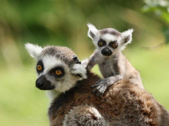 LEMUR primate Madagascar (4) wallpaper