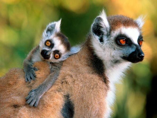 LEMUR primate Madagascar (16) wallpaper