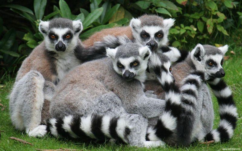 LEMUR primate Madagascar (15) wallpaper