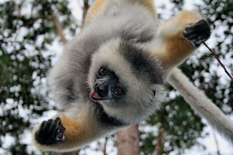LEMUR primate Madagascar (13) wallpaper