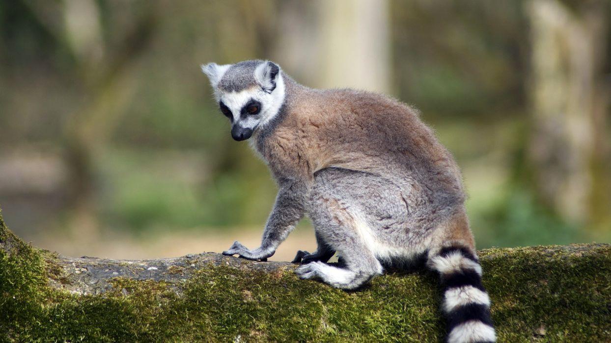 LEMUR primate Madagascar (14) wallpaper