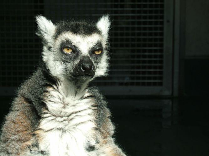 LEMUR primate Madagascar (24) wallpaper