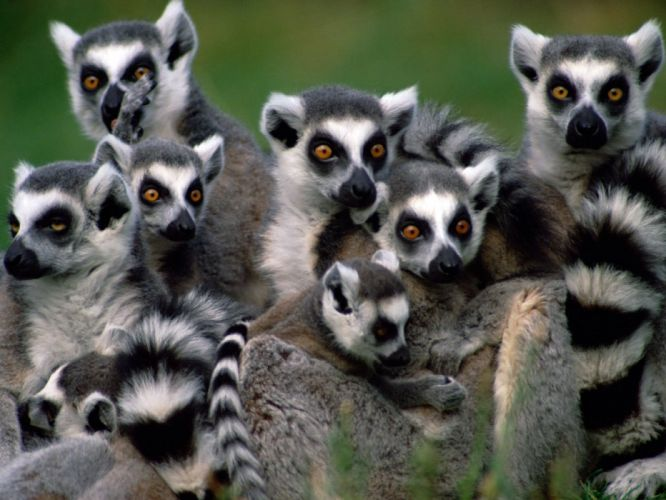 LEMUR primate Madagascar (20) wallpaper