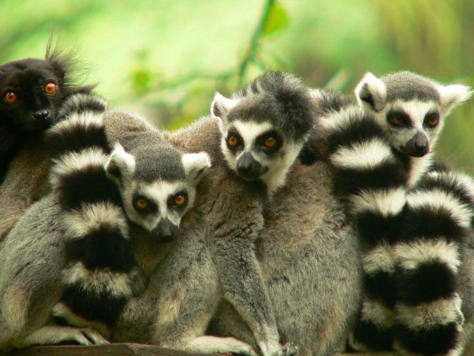 LEMUR primate Madagascar (18) wallpaper