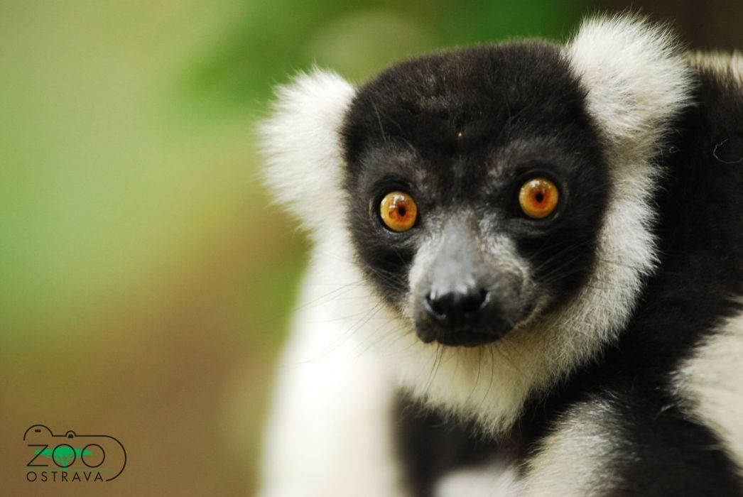 LEMUR primate Madagascar (17) wallpaper