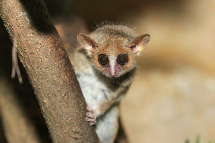 LEMUR primate Madagascar (21) wallpaper