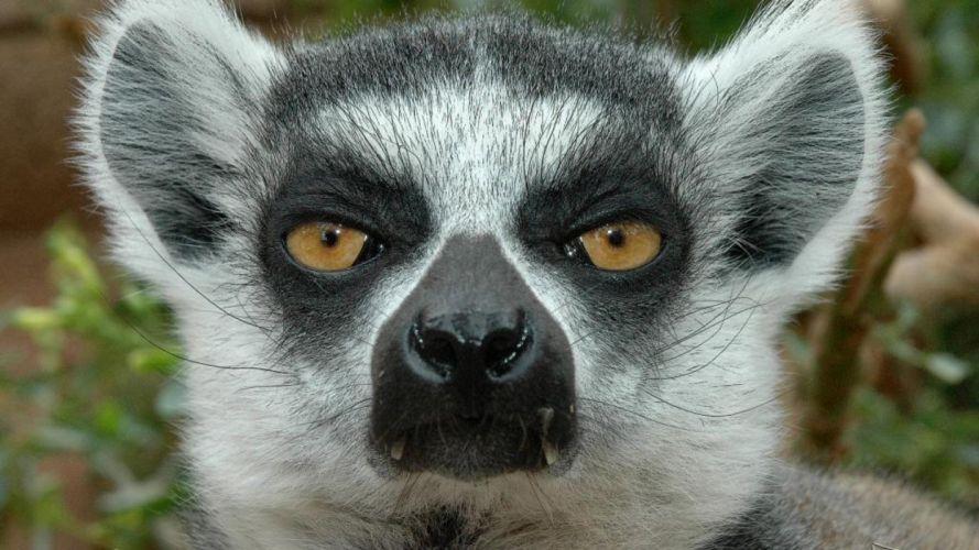 LEMUR primate Madagascar (19) wallpaper