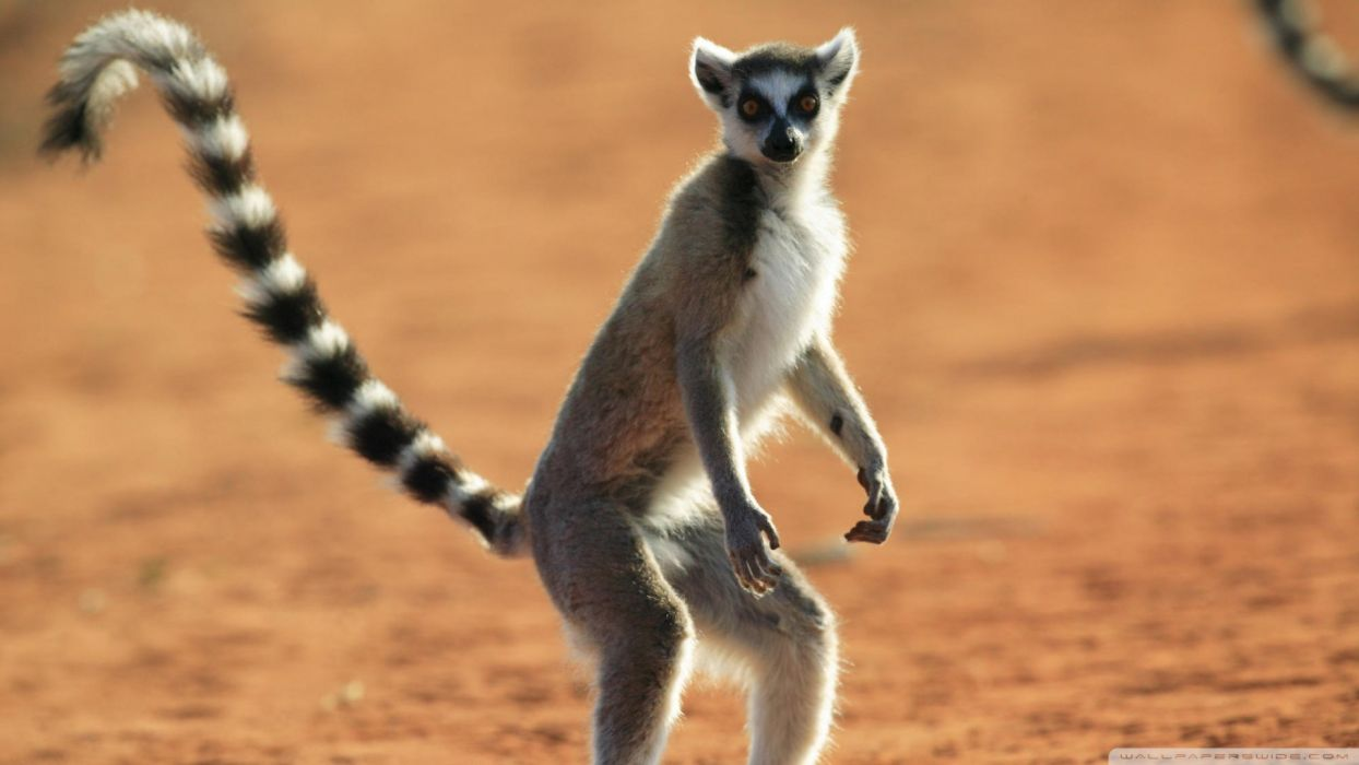 LEMUR primate Madagascar (32) wallpaper
