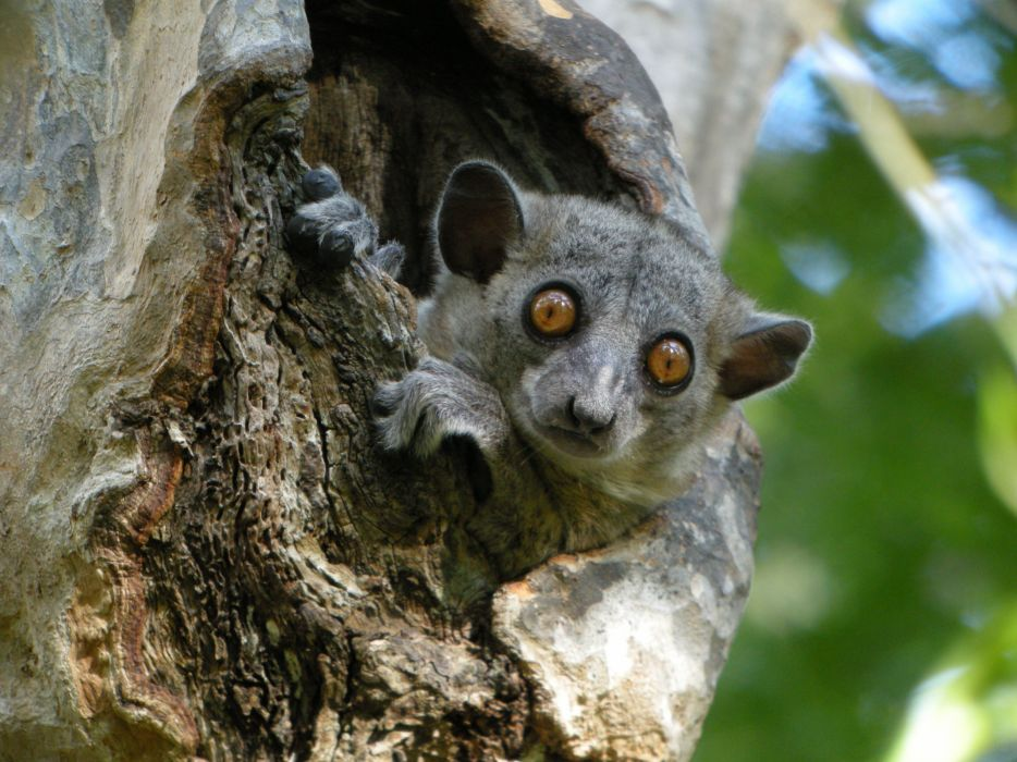 LEMUR primate Madagascar (26) wallpaper