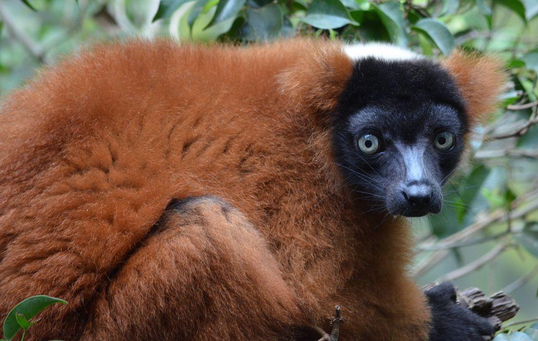 LEMUR primate Madagascar (25) wallpaper