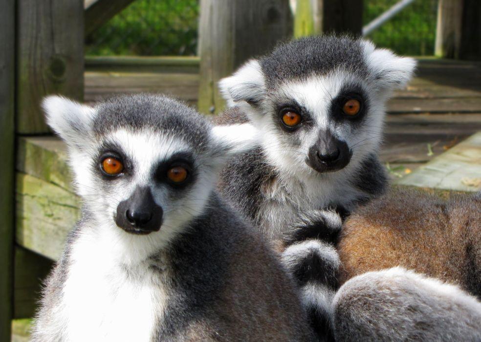 LEMUR primate Madagascar (33) wallpaper
