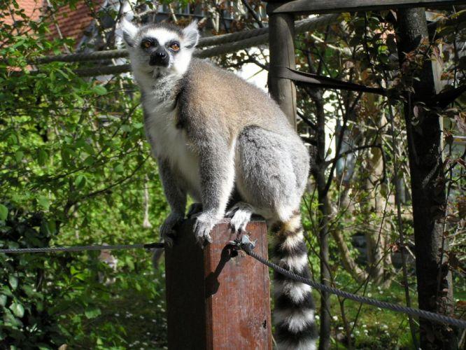 LEMUR primate Madagascar (39) wallpaper