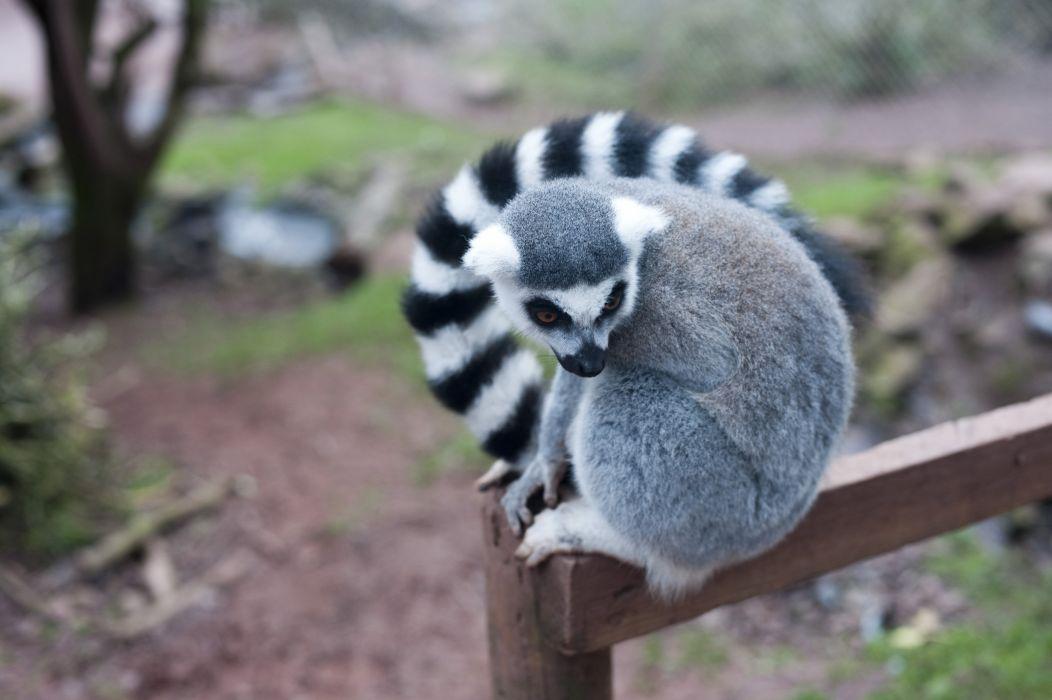 LEMUR primate Madagascar (34) wallpaper
