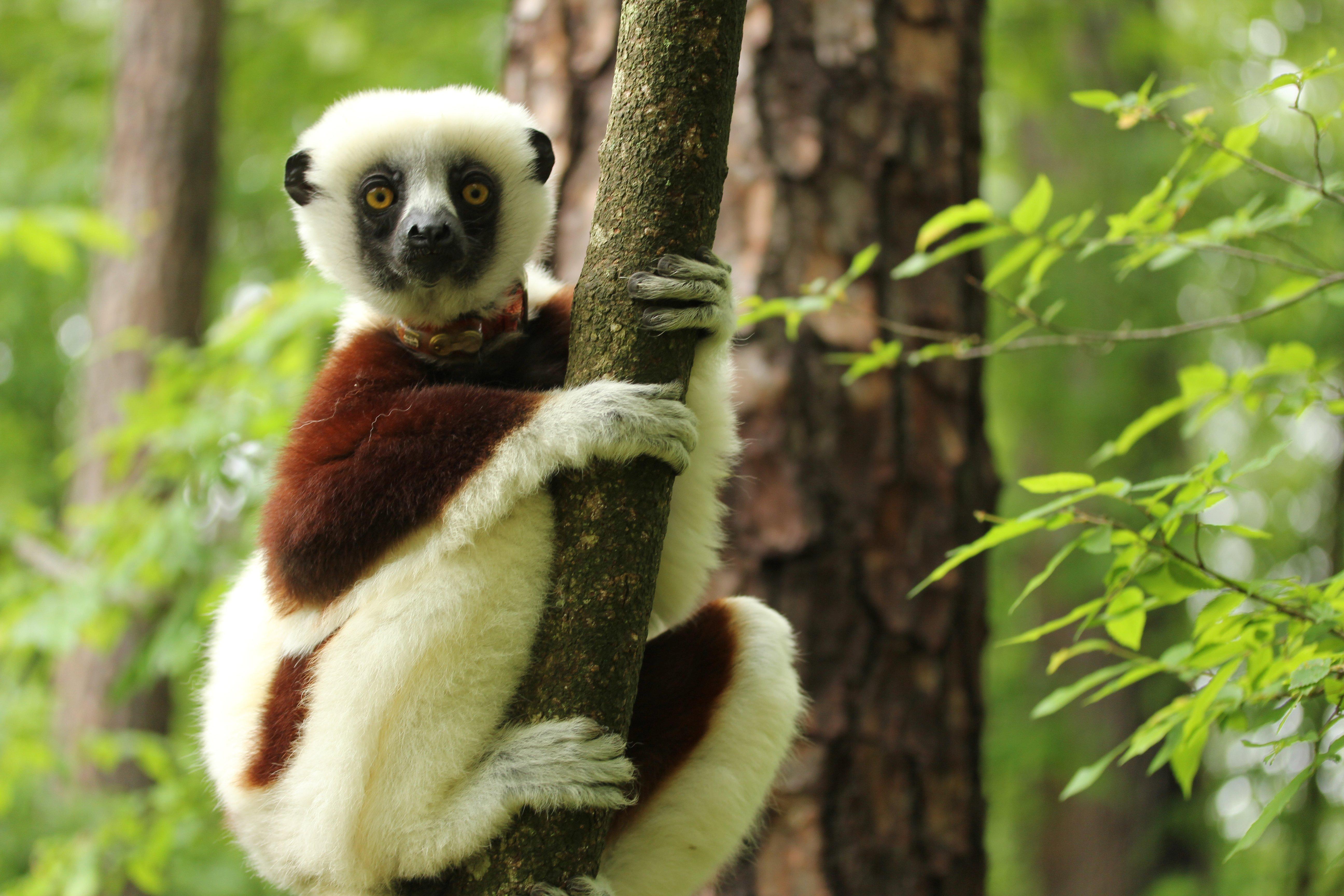 Simple Lemur Wallpaper - 4afe035bc0c835c504db8e9a2c5530e2  Pictures_768411.jpg