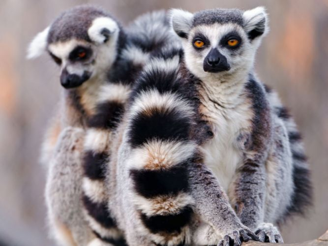 LEMUR primate Madagascar (48) wallpaper