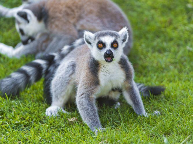 LEMUR primate Madagascar (45) wallpaper