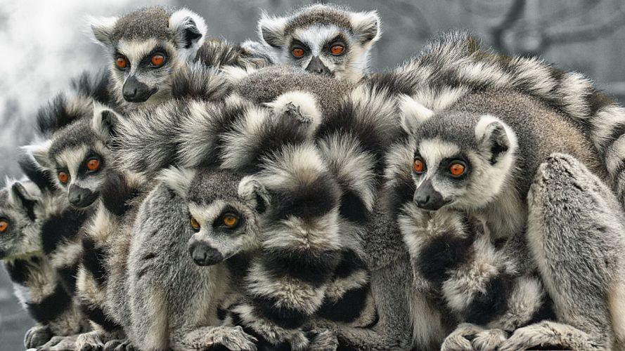 LEMUR primate Madagascar (54) wallpaper