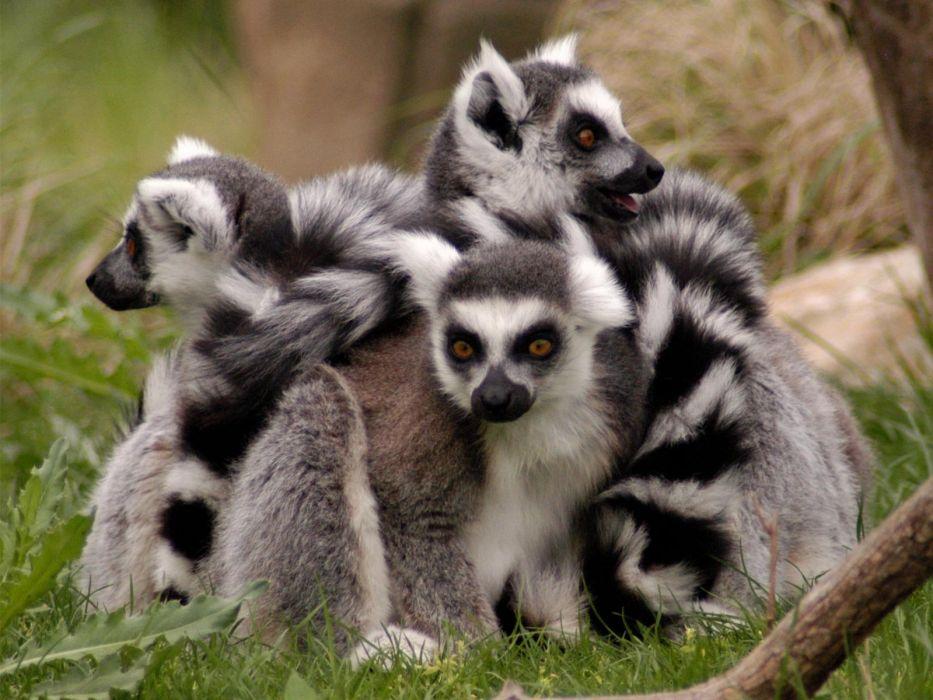 LEMUR primate Madagascar (64) wallpaper
