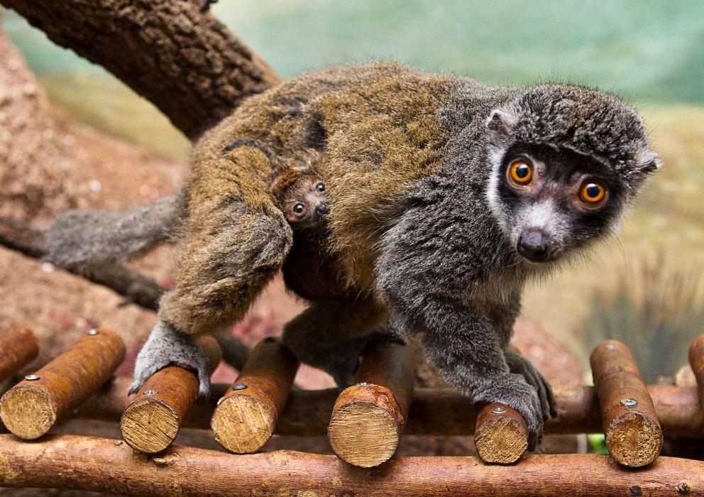 LEMUR primate Madagascar (65) wallpaper