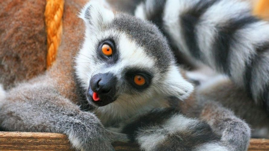 LEMUR primate Madagascar (63) wallpaper