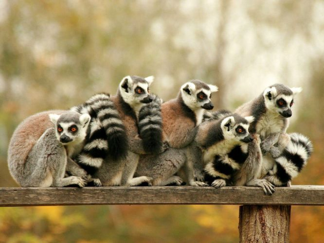 LEMUR primate Madagascar (59) wallpaper