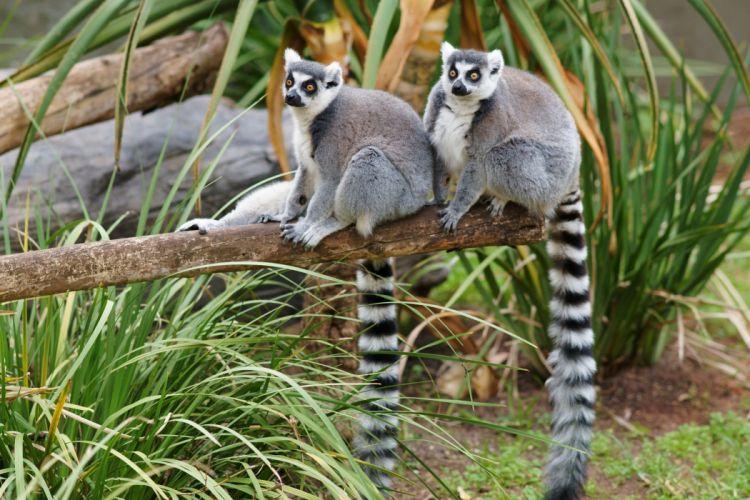LEMUR primate Madagascar (57) wallpaper