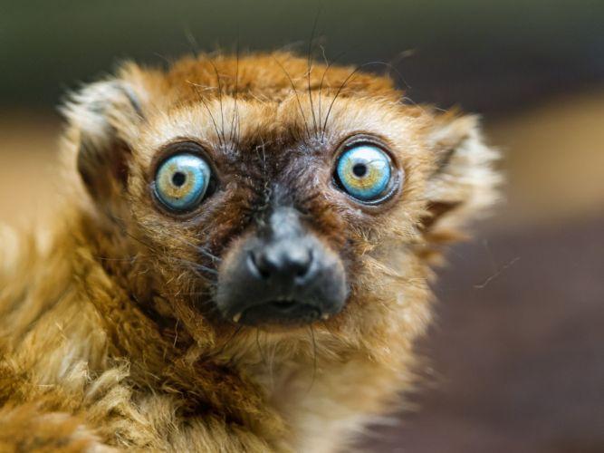 LEMUR primate Madagascar (62) wallpaper