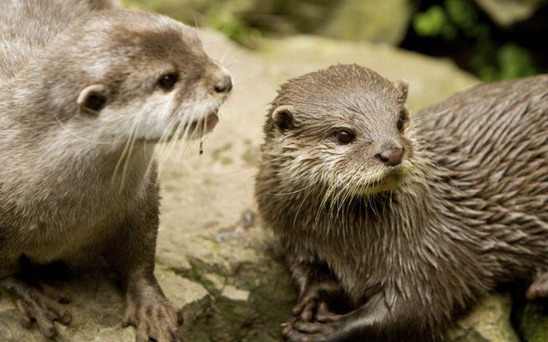 animals wet otters wallpaper