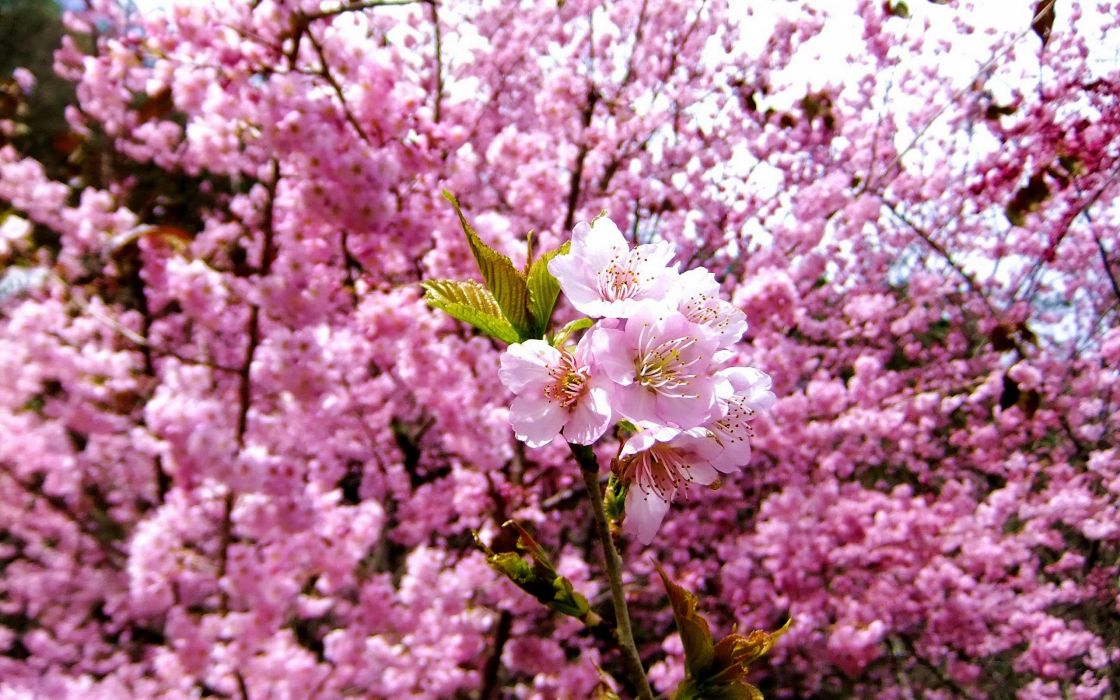 nature cherry blossoms flowers spring pink flowers wallpaper