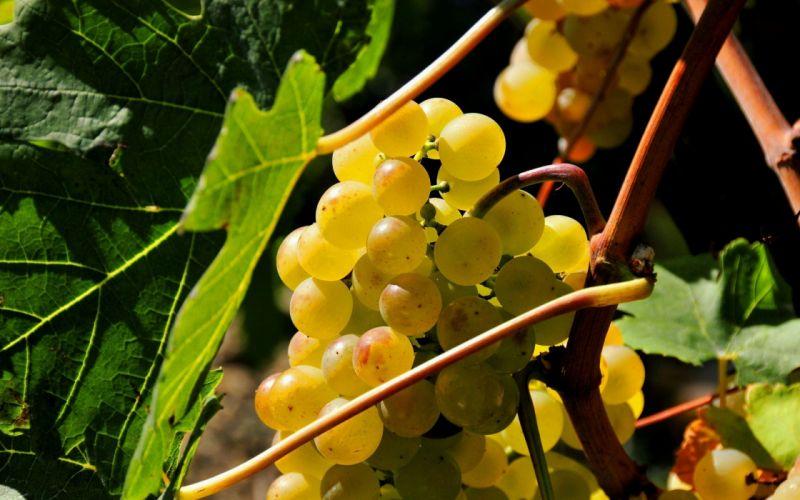 fruits food grape wallpaper