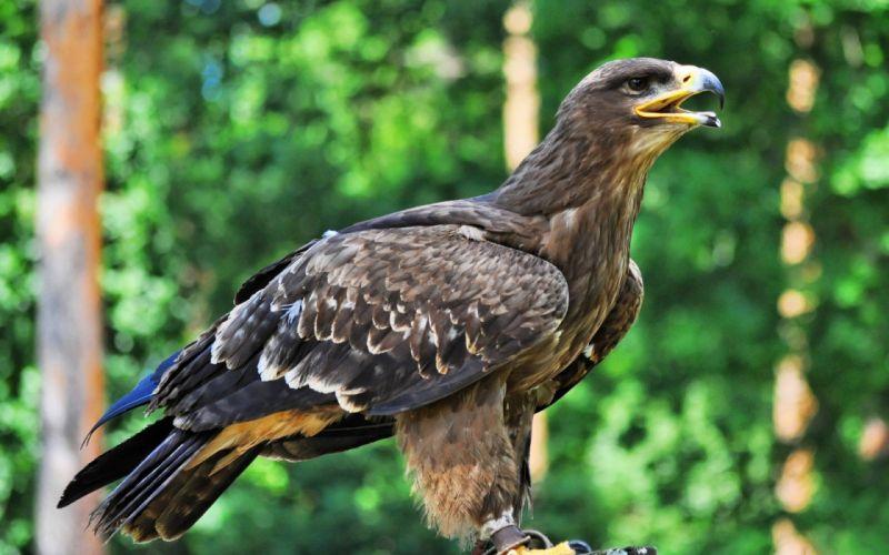birds Golden Eagle wallpaper