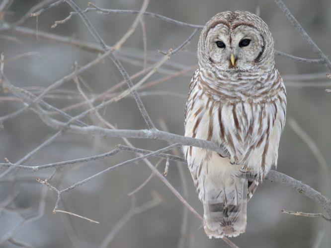 winter birds owls wallpaper