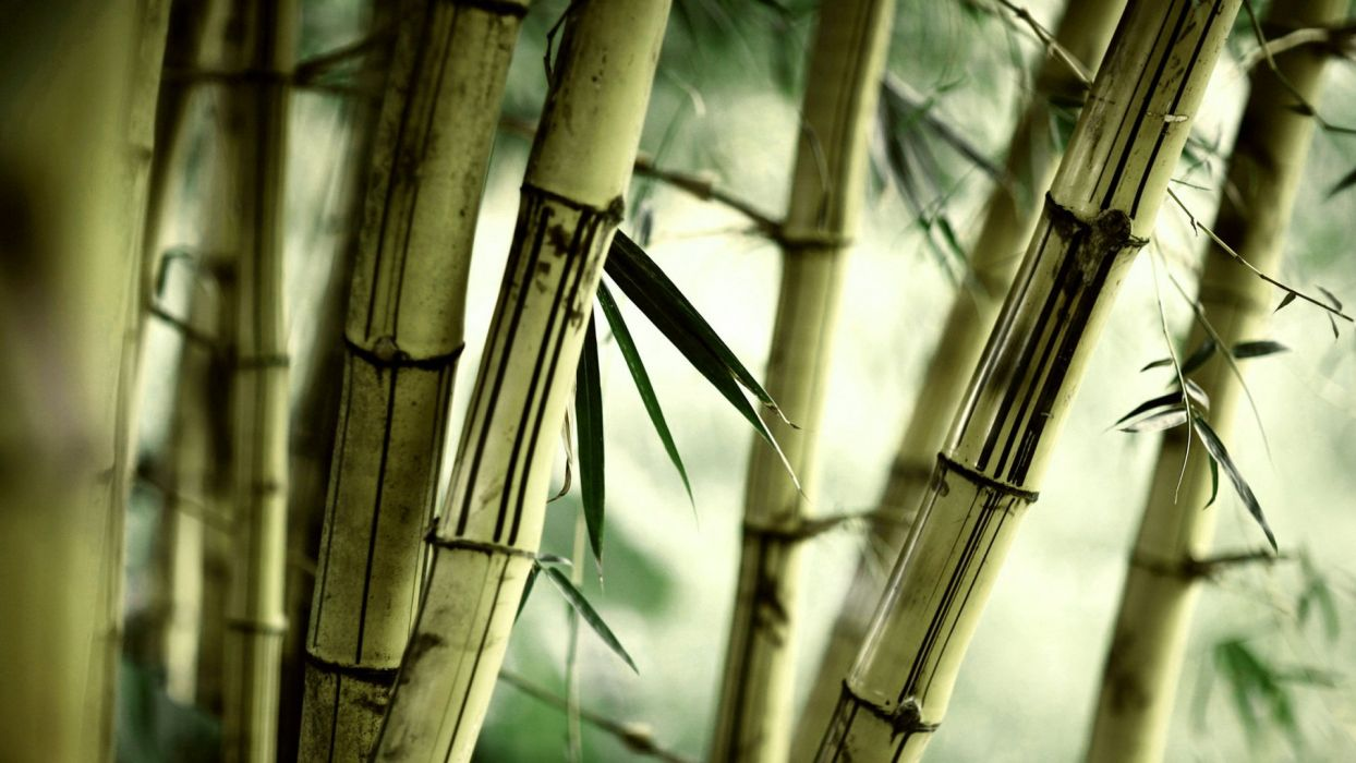 nature bamboo plants wallpaper