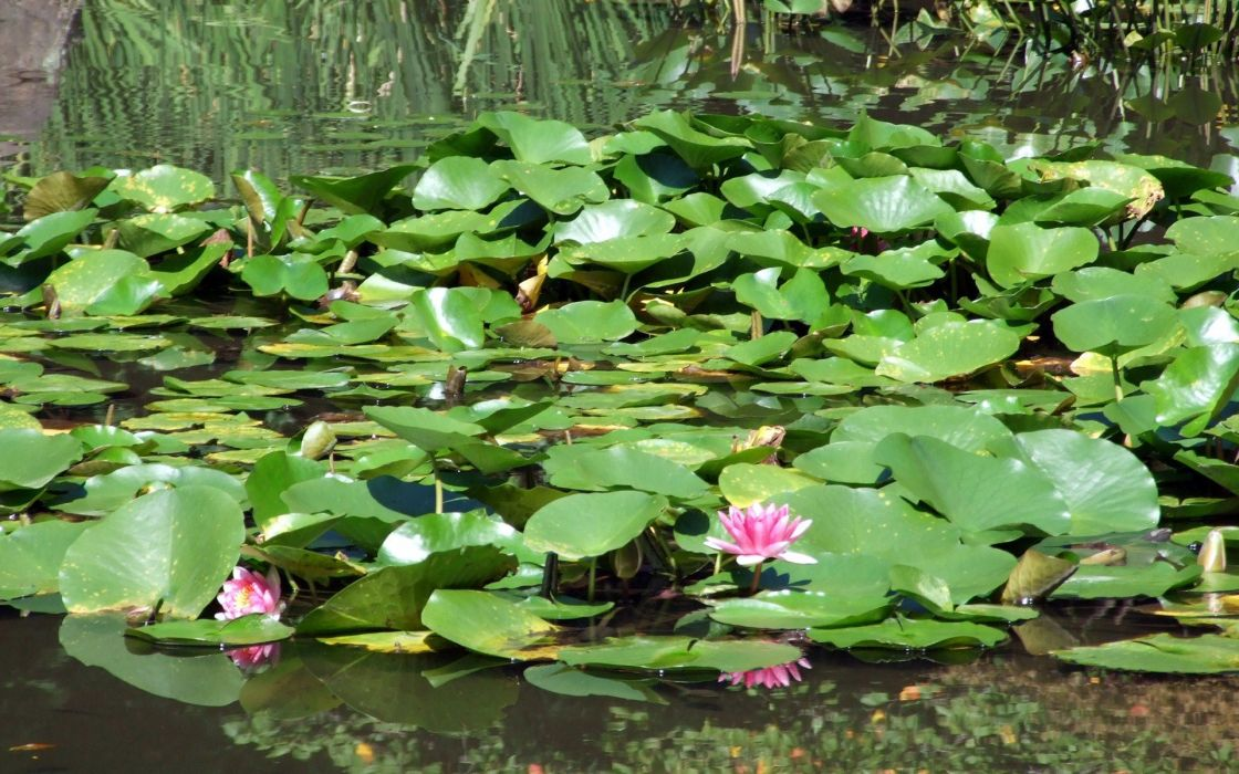 water Japan flowers lily pads water lilies wallpaper