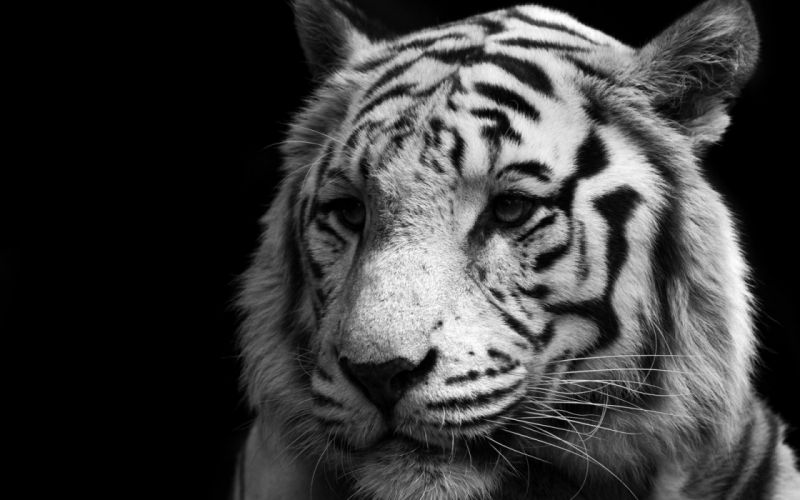 animals tigers feline monochrome black background wallpaper
