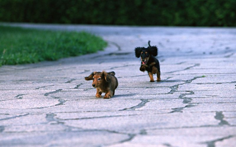 animals dogs puppies canine dachshund wallpaper