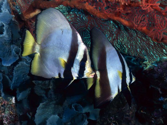 fish underwater angelfish wallpaper