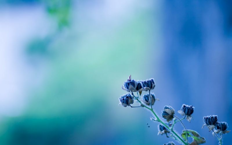 minimalistic flowers blue flowers blurred background wallpaper