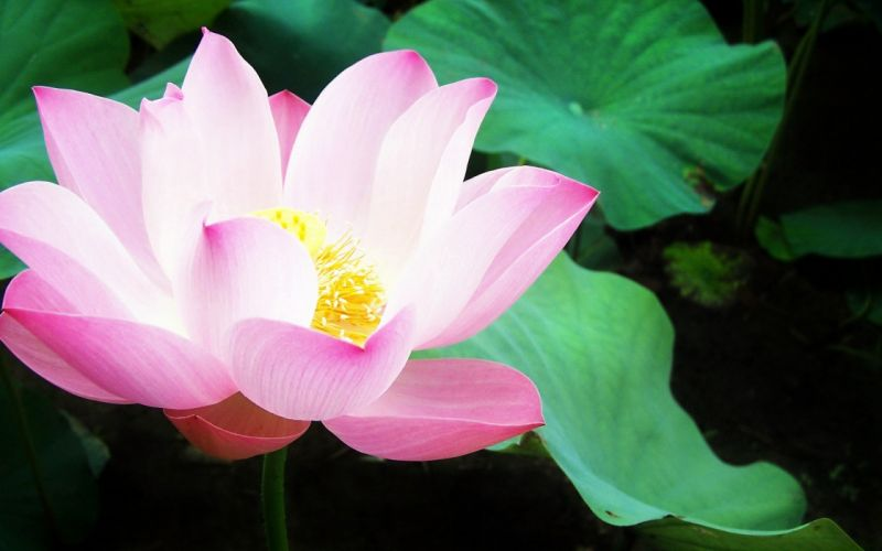 nature flowers lily pads pink flowers water lilies wallpaper