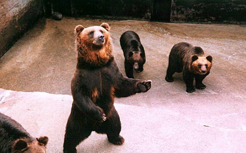 nature animals bears wallpaper