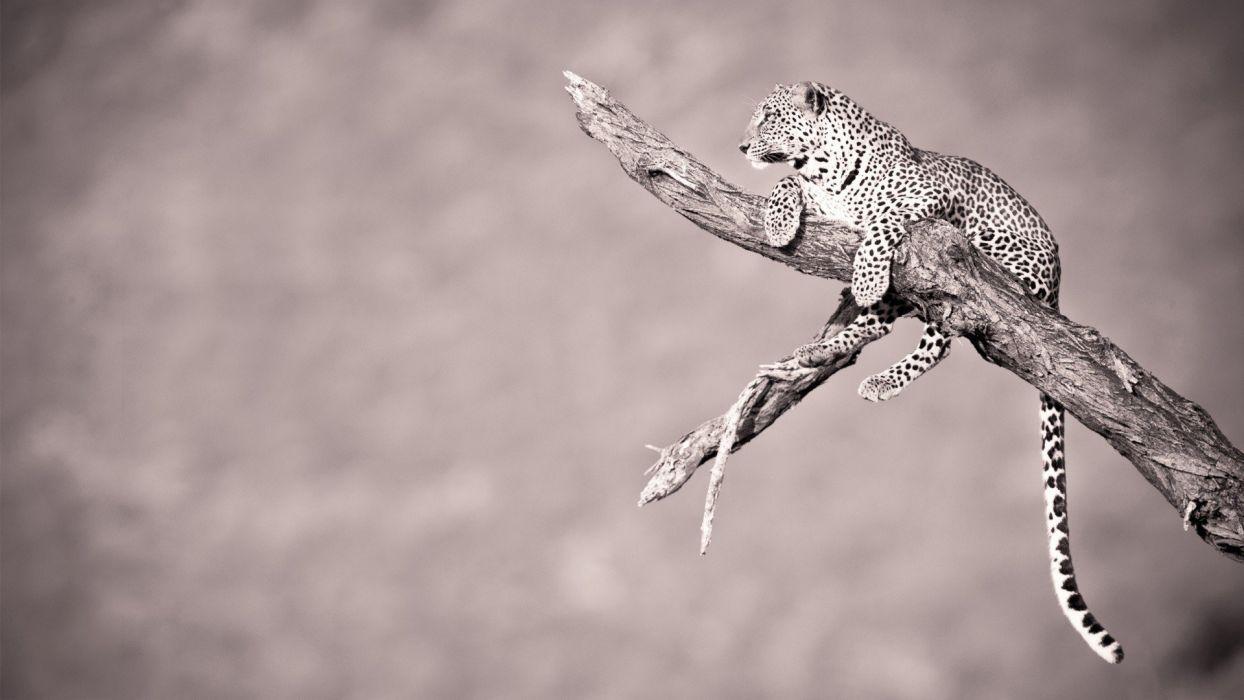 animals monochrome leopards branches wallpaper