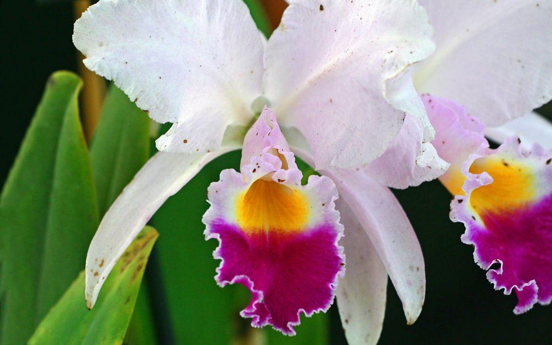 flowers orchids wallpaper