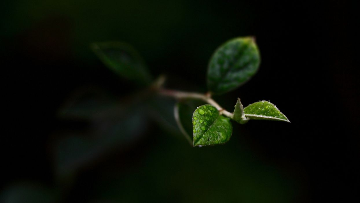 green leaves spring macro branches wallpaper