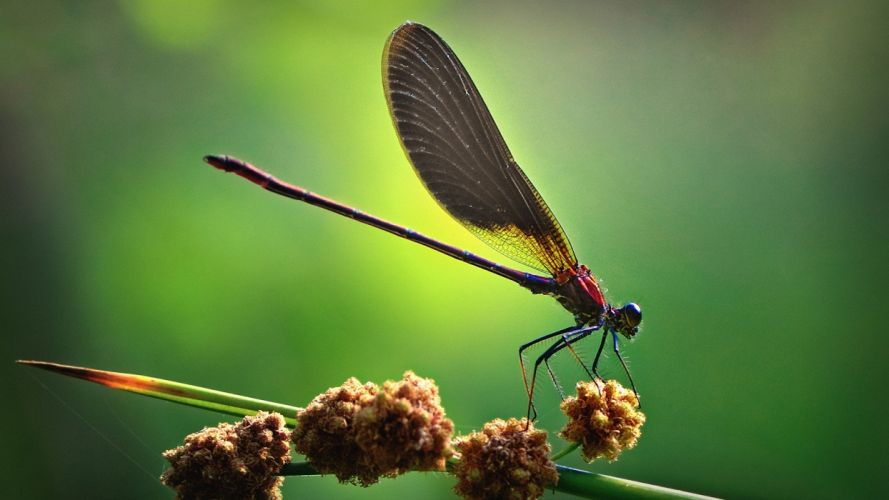 close-up nature animals insects wildlife plants dragonflies wallpaper