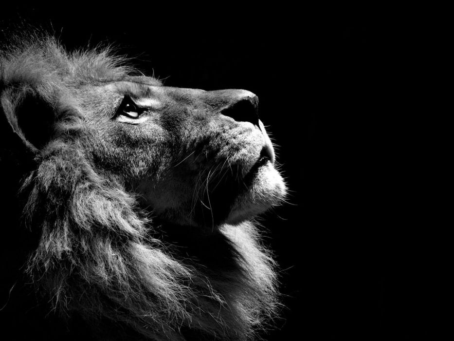 black and white animals lions wallpaper
