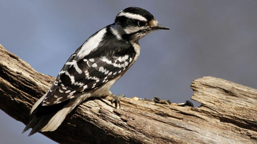 nature birds woodpecker wallpaper
